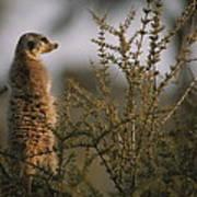 A Meerkat Suricata Suricatta Stands Poster