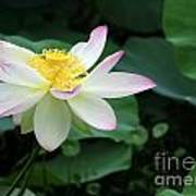 A Pink Tipped White Lotus Poster
