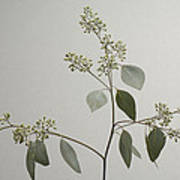 A Seeded Eucalyptus Eucalyptus Cinerea Poster