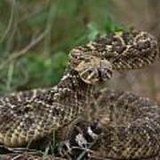 A Western Diamondback Rattlesnake Poster