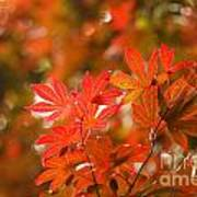 Acer Leaves Poster
