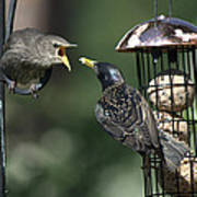 Adult Starling Feeds A Juvenile Poster