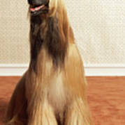 Afghan Hound Sitting In Room Poster