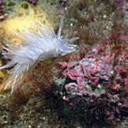 Alabaster Nudibranch Poster
