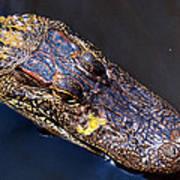 Alligator In Mississippi River Poster