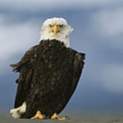 An American Bald Eagle Stands Poster