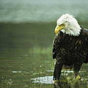 An American Bald Eagle Stares Intently Poster
