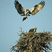 An Osprey Carrying A Fish Back Poster