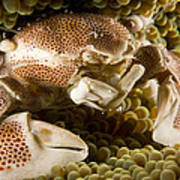 Anemone Or Porcelain Crab In Its Host Poster