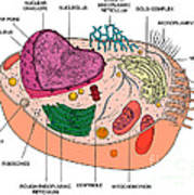 Animal Cell Diagram Poster by Science Source