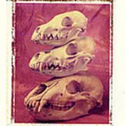 Animal Skulls Poster