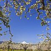 Apple Blossom Trees In Hood River Poster