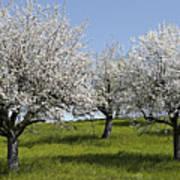 Apple Trees In Full Bloom Poster