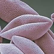 Asparagus Pollen Grains, Sem Poster by Steve Gschmeissner
