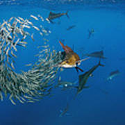 Atlantic Sailfish Istiophorus Albicans Poster