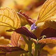 Autumn Coleus Poster