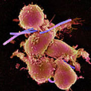 Bacteria Infecting Macrophage Cells, Sem Poster by