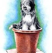 Beardie In A Pot Poster