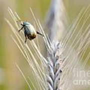 Beetle On The Wheat Poster