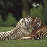 Bengal Tiger Panthera Tigris Tigris Poster by Konrad Wothe