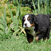 Bernese Mountain Dog Puppy Portrait Poster