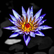 Black Pond Lilly Poster
