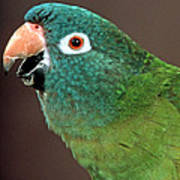 Blue Crowned Conure Poster