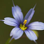 Blue-eyed Grass Wildflower - Sisyrinchium Angustifolium Poster