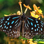 Blue Glassy Tiger Butterfly Poster