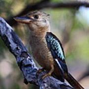 Blue-winged Kookaburra Poster