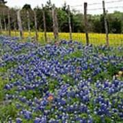 Bluebonnets Of Texas Poster