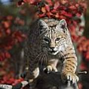 Bobcat Felis Rufus Walks Along Branch Poster by David Ponton