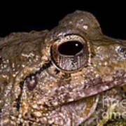 Bobs Robber Frog Poster