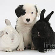 Border Collie Pups With Black Rabbit Poster