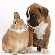 Boxer Puppy And Netherland-cross Rabbit Poster