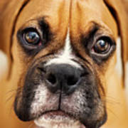 Boxer Puppy Poster by Jody Trappe Photography