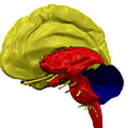 Brain Anatomy Poster