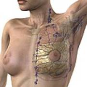 Breast Lymphatic System, Artwork Poster