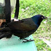 Brewers Black Bird  Poster