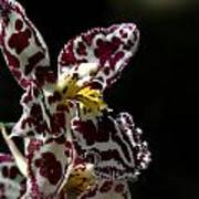 C Ribet Orchids Poster