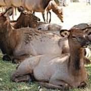 Calf Elk Poster