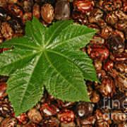 Castor Bean Leaf And Seeds Poster