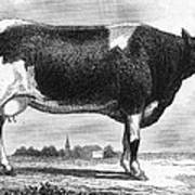 Cattle, 19th Century Poster