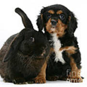 Cavalier King Charles Spaniel And Rabbit Poster