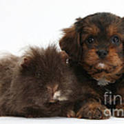 Cavapoo Pup And Shaggy Guinea Pig Poster