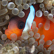 Cinnamon Clownfish In Its Host Anemone Poster