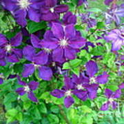 Clematis In Bloom Poster