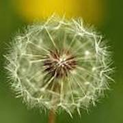 Close View Of A Dandelion Gone To Seed Poster