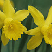 Close View Of Early Spring Daffodils Poster