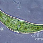 Closterium Sp. Algae Lm Poster by M. I. Walker